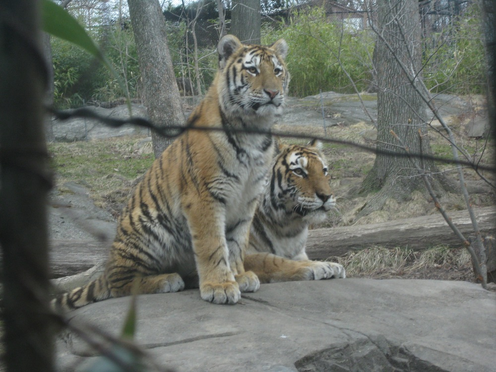 tigers - bronx zoo