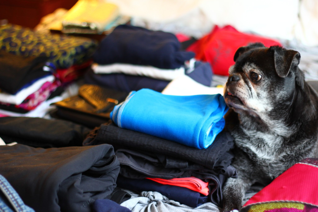 pug helping pack
