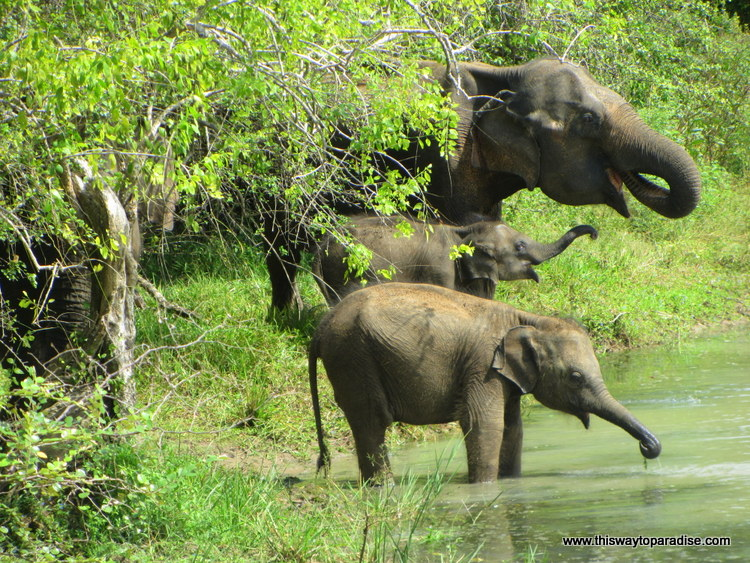 Elephant family in Yala Park, Sri Lanka