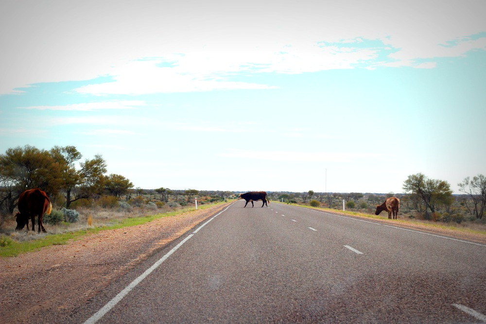 red center - cows