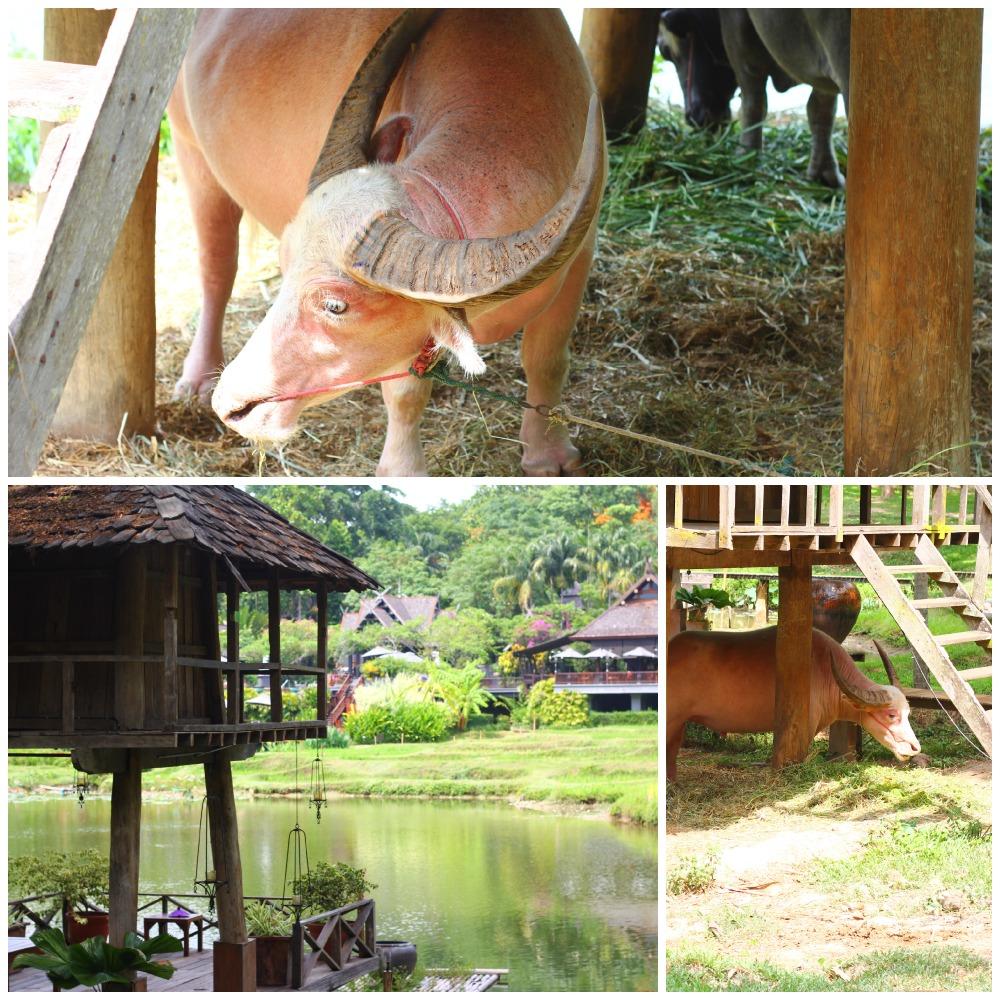 FS Chiang Mai - albino