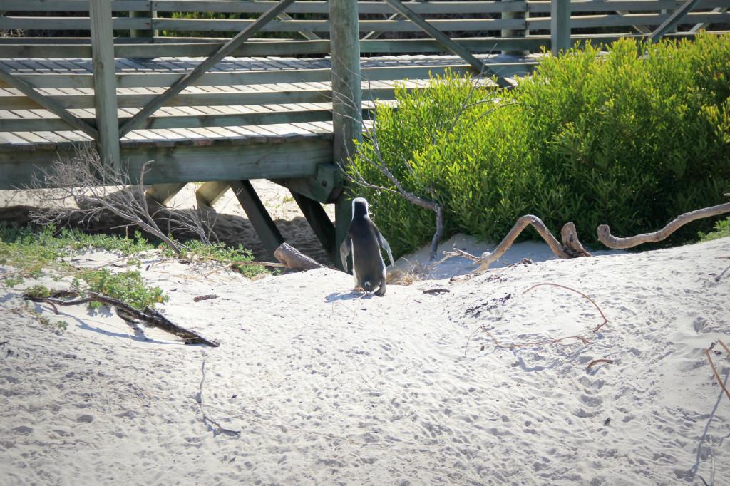 1st penguin spotting - boulders beach