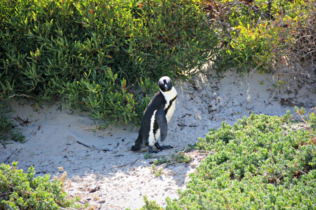 2nd penguin