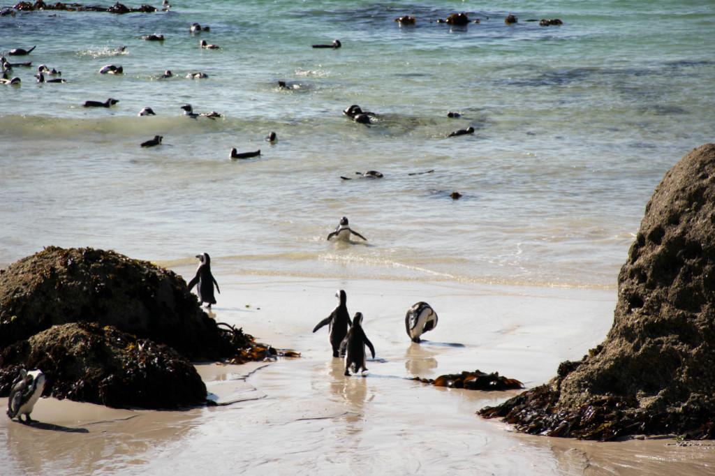 boulders beach - swimming penguins