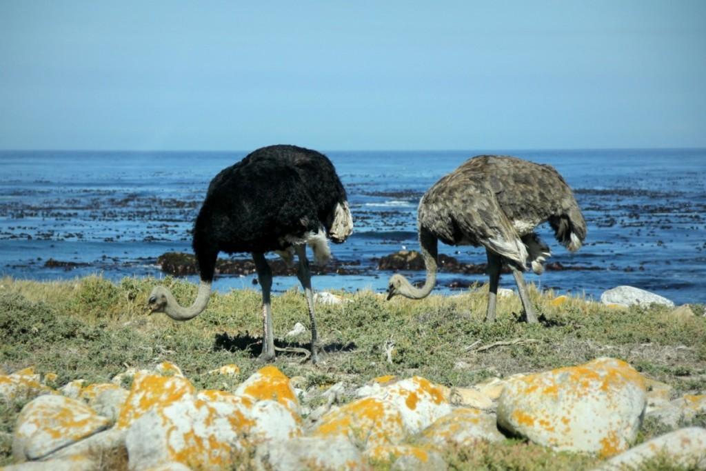 wild ostrich!