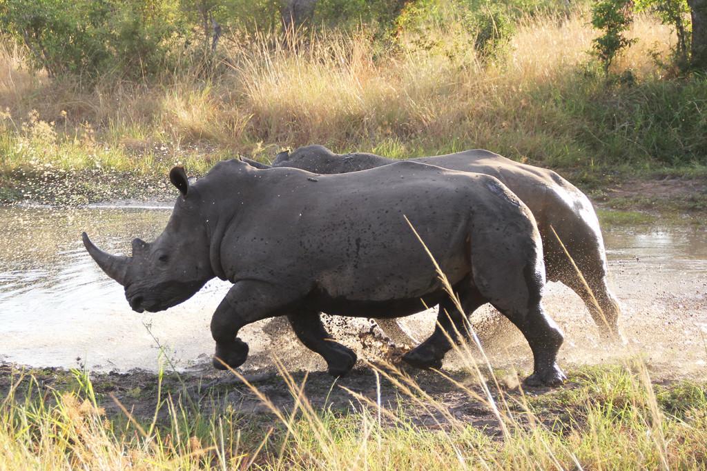 white rhinos - running
