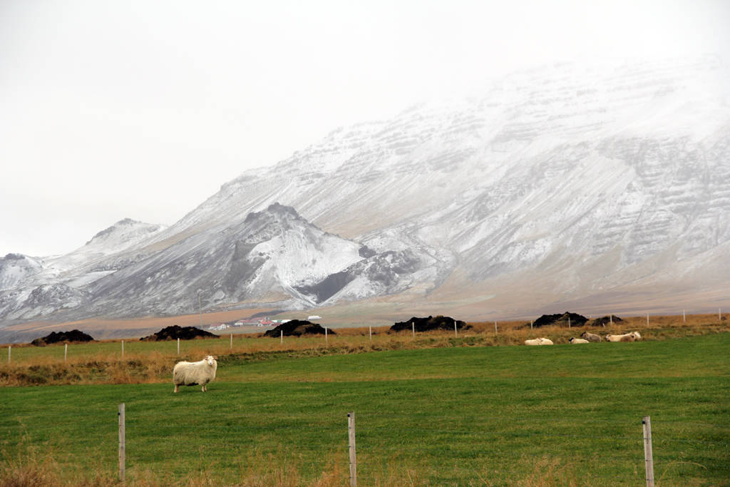 icelandic sheep (2)