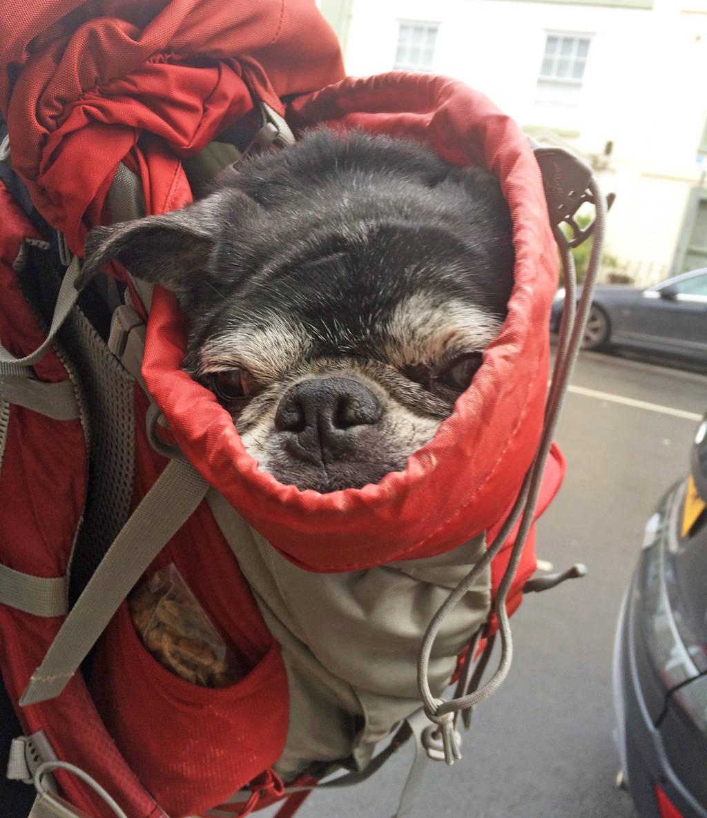 pack a pug
